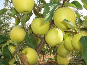Apel Golden Delicious