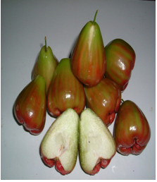 Bibit Buah Jambu Air